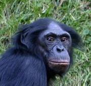 Imagem de bonobo