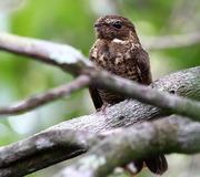 Imagem de bacurau-de-cauda-barrada