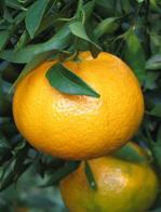tangerina bergamota