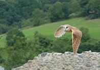 coruja-das-torres