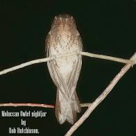 coruja-das-molucas