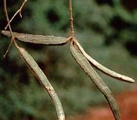 cipó-cravo