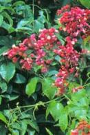 cipó-vermelho
