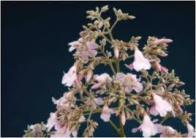 cipó-florido