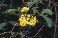 cipó-de-ouro