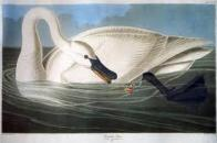 cisne-trombeteiro