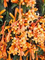 Imagem de cipó-bela-flor