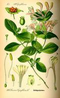 Imagem de caprifoliáceas