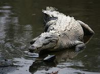 Imagem de crocodilo-da-américa