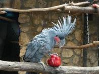 Imagem de cacatua-das-palmeiras