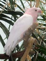 Imagem de cacatua-rosa