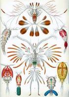 Imagem de copépodes