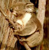 Imagem de coala