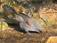 Imagem de corcoracidae
