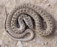 Imagem de cobra-rateira