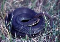 Imagem de cobra-preta