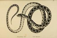 Imagem de cobra-ferradura