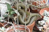 Imagem de cobra-chicote-do-oeste