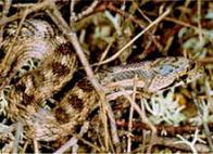 Imagem de cobra-bordalesa