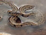 cobra-de-água-de-colar