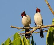 cardeal-da-amazônia