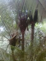 coco bejauva
