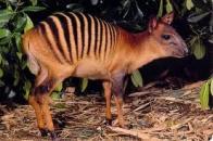duiker-zebra