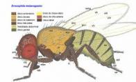 Imagem de drosófila