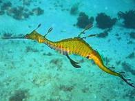 Imagem de drag�o-marinho-comum