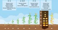 desenvolvimento vegetativo- representa as  fenofases vegetativos, que é a emergência da planta, dese
