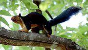 esquilo-gigante-indiano
