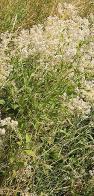 erva-pimenteira