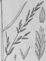 erva-carneira