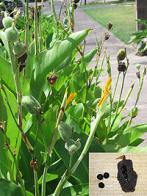 erva-conteira
