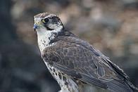 falcão-sacre