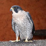 falc�o-peregrino