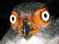 falcão-mateiro