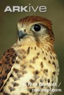 falc�o-das-maur�cias