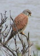 falcão-penereiro-grande