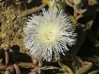 flor-de-gelo