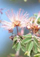 flor-de-caboclo
