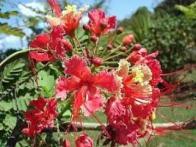 flor-de-pavão