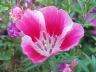 flor-de-cetim