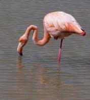 flamingo-chileno