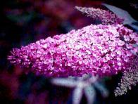flor-de-baunilha
