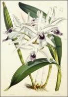 flor-de-jesus