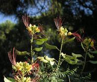 flor-de-índio