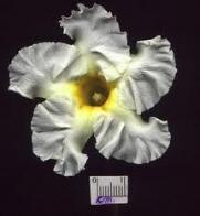 flor-de-babeiro
