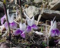 flor-da-ressurreição