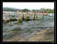 flor-da-cachoeira